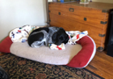 A grey and black dog named LC sleeping in her bed