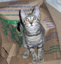 A grey striped cat named Squeek